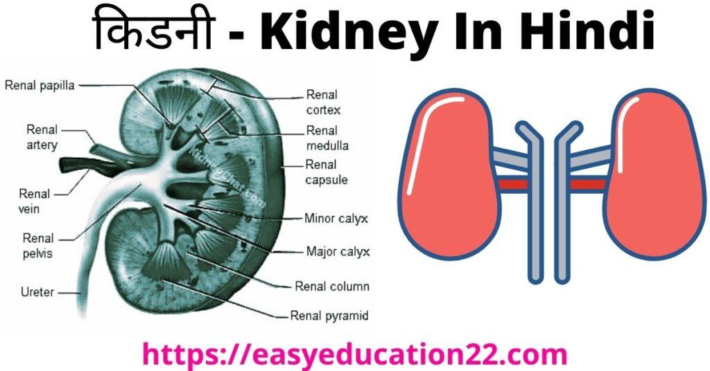 Kidney Ka Chitra - किडनी का चित्र